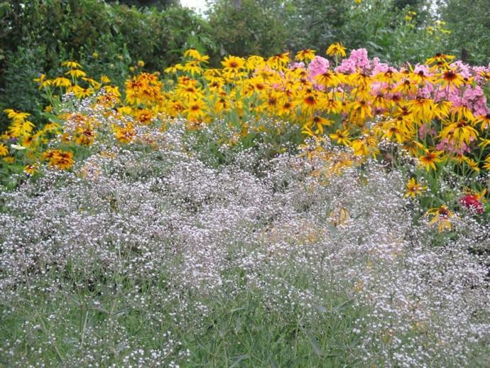 Гипсофила хорошо смотрится в сочетании со многими садовыми растениями