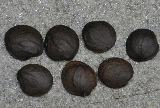 Наиболее простым и гарантированным способом размножения глицинии является семенами