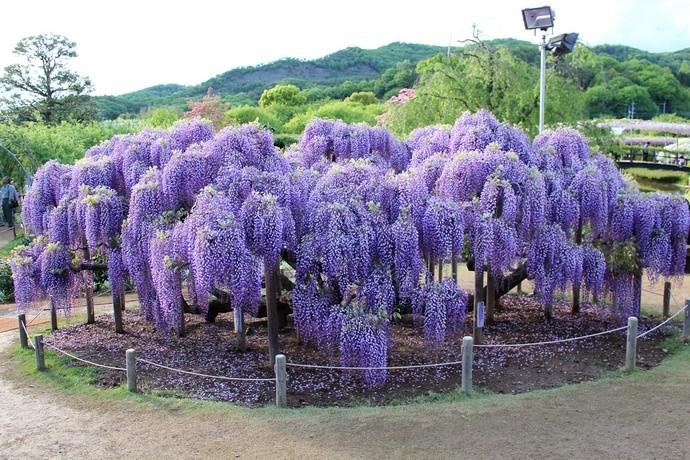 Глициния – теплолюбивое растение