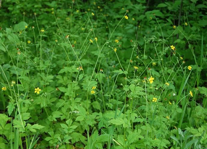 Период цветения гравилата городского продолжается с конца весны по середину осени