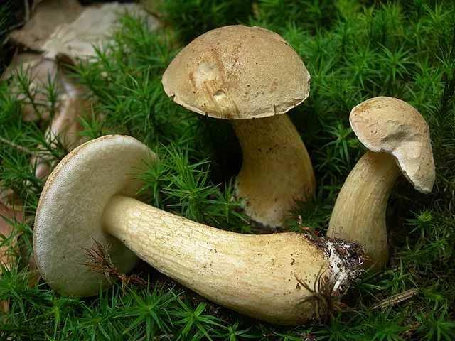 Желчный гриб предпочитает хорошо освещенные поляны и опушки хвойных лесов с песчаной или суглинистой почвой