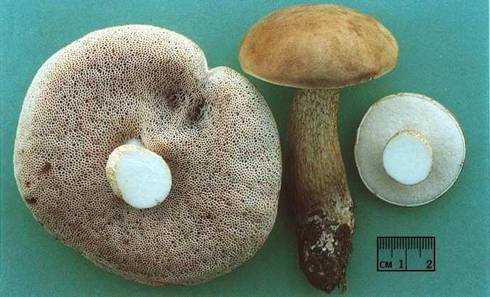 Те грибники, которые постоянно проводят пробу желчного гриба на язык, рискуют со временем получить цирроз из-за попадания большого количества токсинов в клетки печени