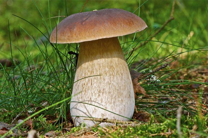 Белые грибы часто находятся под дубами и соснами