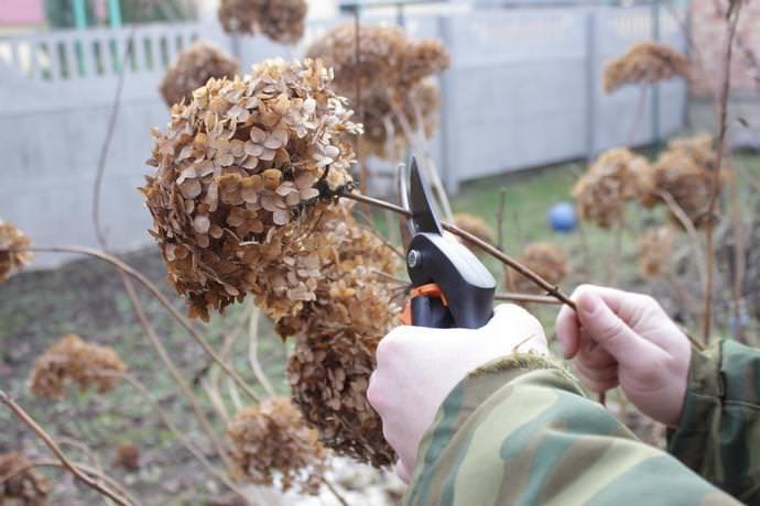 Обрезка зимостойких видов кустарника проводится после цветения во время опадания листьев