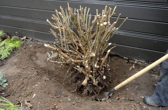 Осенняя посадка гортензии проще весенней из-за того, что растение, настроенное на спячку, не нуждается в это время в особом уходе