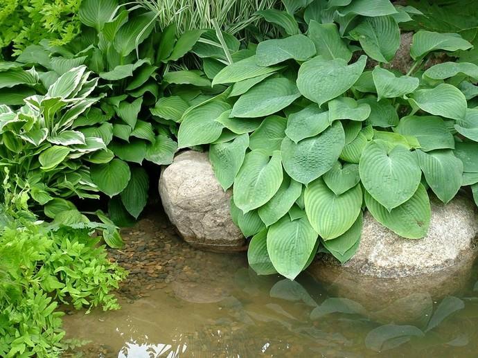 С помощью хостов можно создать прекрасную композицию на берегу пруда или ручья