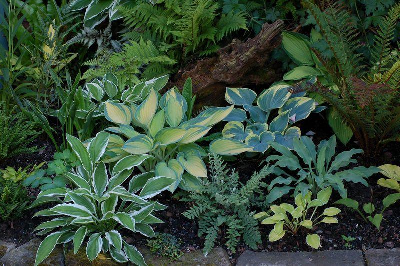 Благодаря разнообразию сортов, различной форме и расцветке листвы в ландшафтном дизайне создают различные садовые композиции из хост