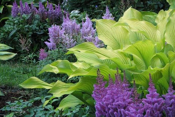 Хосты прекрасно соседствуют практически со всеми цветущими растениями