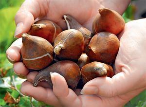 Нужно знать, как хранить луковицы тюльпанов зимой