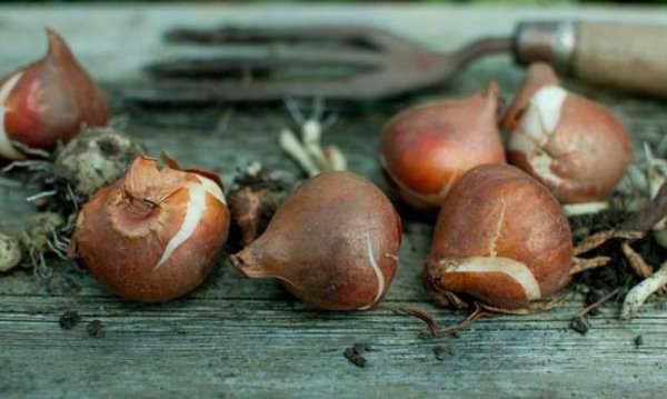 После того, как луковицы выкопаны, в первую очередь нужно их просушить