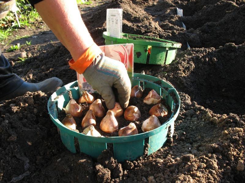 Посадку луковиц тюльпанов следует проводить в начале весны