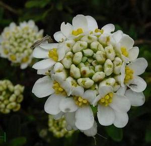 Растение иберис еще называют иберийка