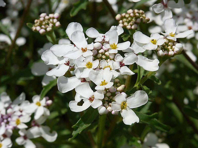 Иберис горький (I.amara)