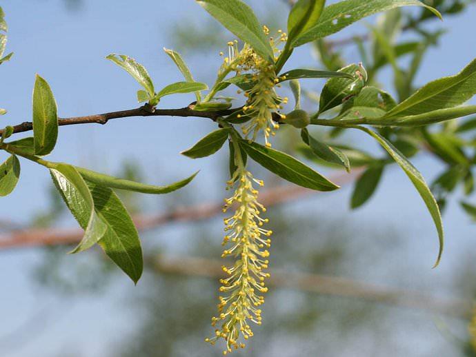 В середине весны на иве распускаются желтые цветы, похожие на меховые комочки