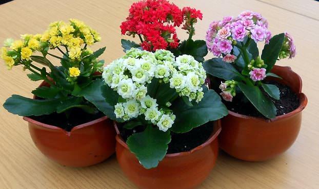 Каланхоэ принадлежит к семейству толстянковых и является суккулентным растением