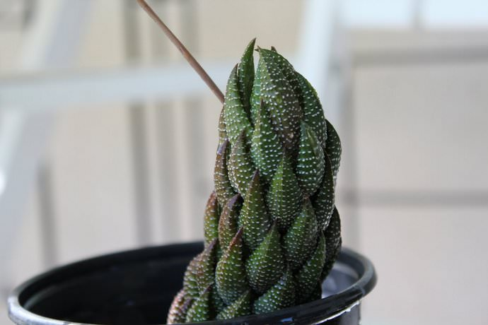 Хавортия Рейнвардта (Haworthia reinwardtii)