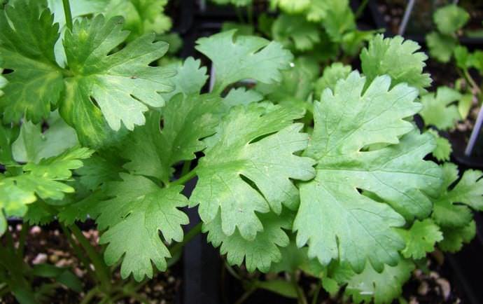 Польза кинзы обусловлена содержанием в листьях и стебле растительного белка, а также незначительного количества жиров и углеводов