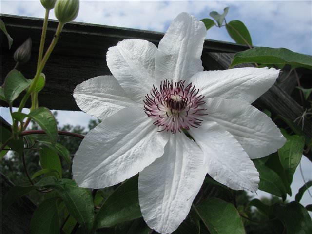 Известный сорт клематиса Балерина считается непрерывно цветущим растением
