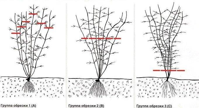 Обрезку всех видов лозинок клематиса проводят через 3 года после начала вегетативного размножения