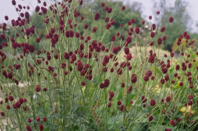 Заготавливают кровохлёбку с августа по октябрь, пока её можно узнать по цветам