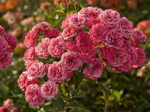 Уход за кустовыми розами требуется минимальный