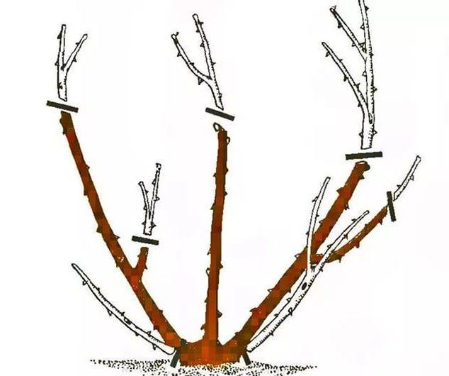 Весной обрезка растений направлена на то, чтобы куст приобрел правильную форму