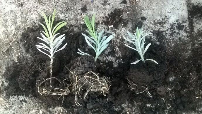 Рассаду лаванды сажают в открытый грунт в конце мая