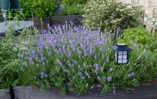 Лаванда – ценное растение с восхитительным ароматом