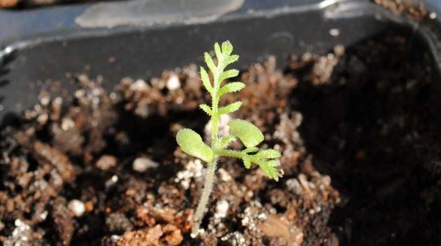 Когда у посадочного материала лаванды появятся четыре – шесть листочков, сеянцы рассаживают по отдельным горшкам