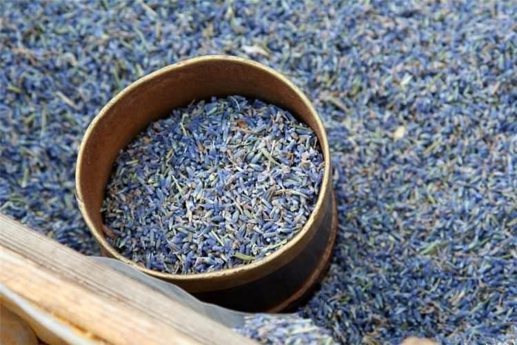 В местах, где в зимнее время преобладает теплый климат, семена лаванды высевают прямо в открытый грунт