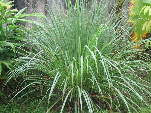 Лемонграссом называют многолетнее растение нежно-зелёного цвета