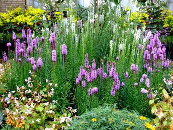 Лиатрисы практически идеально подходят для выращивания на цветниках и клумбах