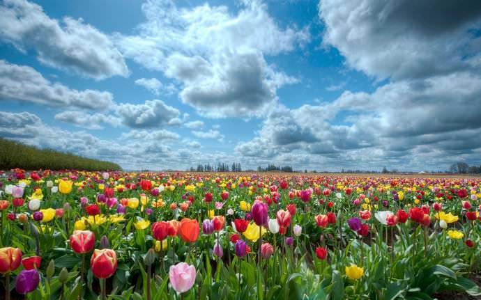Тюльпаны имеют большое значение для экономики Нидерландов