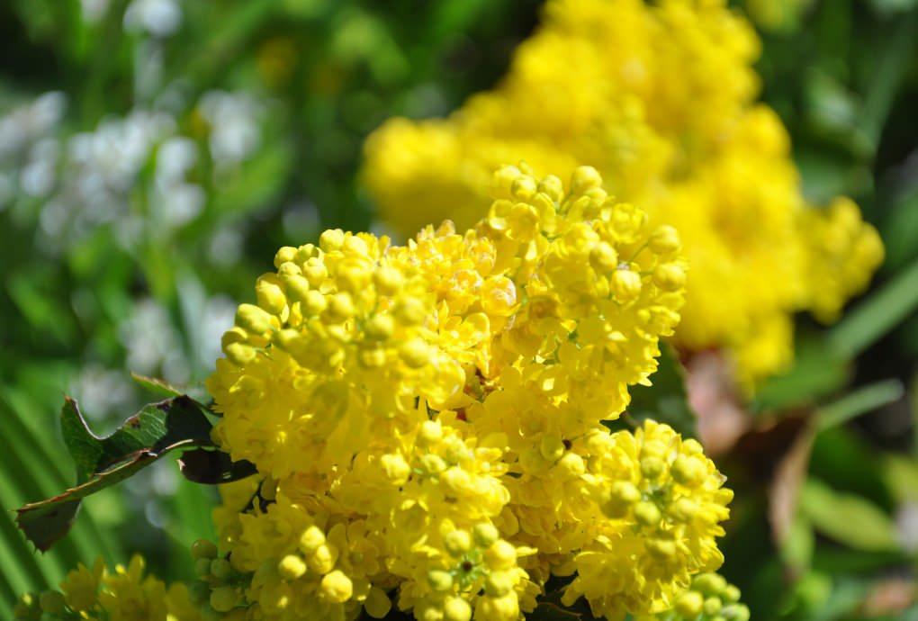 Цветение магонии начинается в конце апреля - начале июня