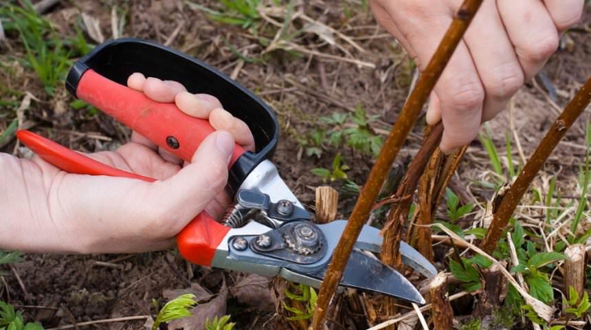 У ремонтантных сортов малины вырезаются все ветки