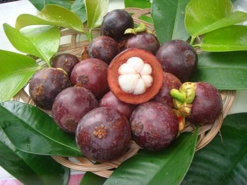 Благодаря лечебным свойствам, мангустин широко применяется в народной медицине азиатских стран