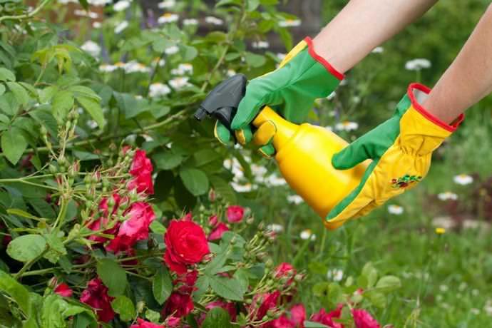 При малейших проявлениях грибных заболеваний розы опрыскивают 1% бордоской жидкостью или медно-мыльным купоросом
