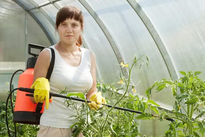 Первая предупредительная обработка томатов медным купоросом проводится при появлении признаков фитофтороза или перед цветением