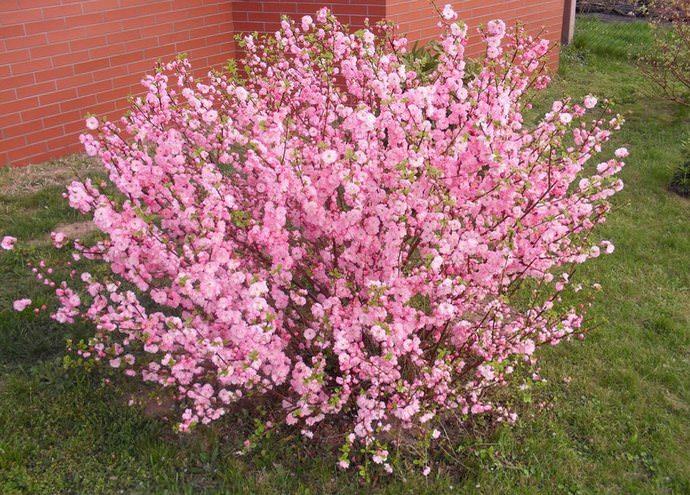Декоративный миндаль Розовая пена