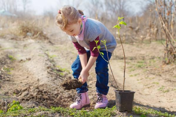 Высаживать в весенний период или осенью рекомендуется однолетние саженцы миндаля