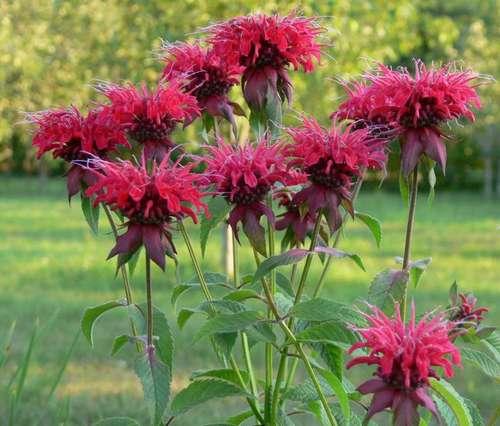 Монарда – ароматное растение, которое выделяется интересной формой цветов