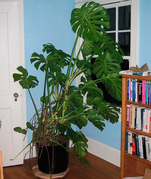 Монстера остается довольно популярным комнатным растением