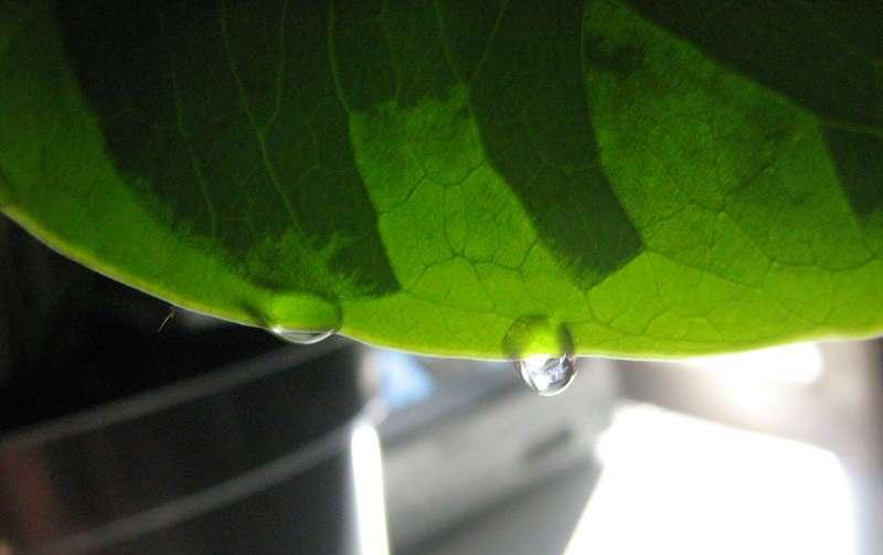 При высоком уровне влажности воздуха и обильном поливе на растении можно наблюдать так называемое слезотечение