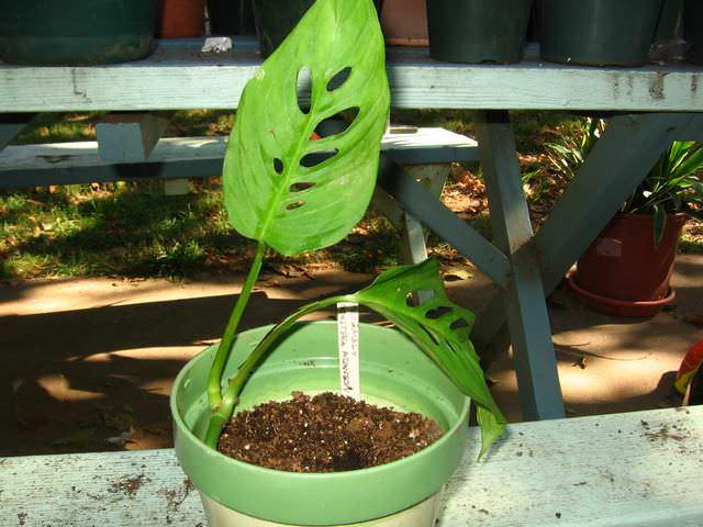 В процессе выращивания цветоводы очень часто сталкиваются с плохим и слишком медленным ростом монстеры