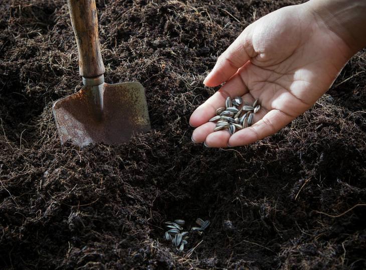 Высеву подлежат семена морозника, полученные не более месяца назад