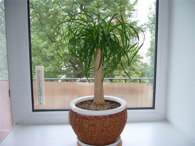 Нолина считается неприхотливым растением, она хорошо растёт на солнечном подоконнике, а также в полутени