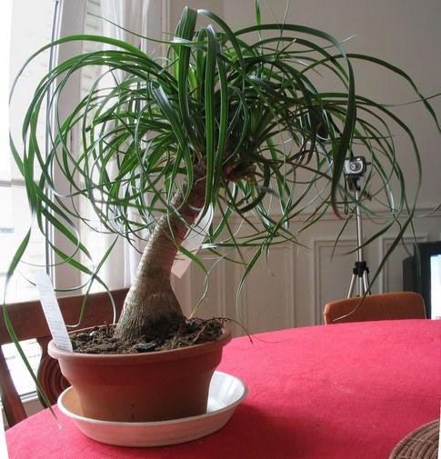 Цветок нолина — это удивительное растение, относящееся к семейству агавовых