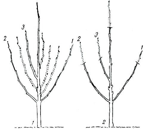 Укорачивание подразумевает удаление части ветвей, либо однолетнего прироста