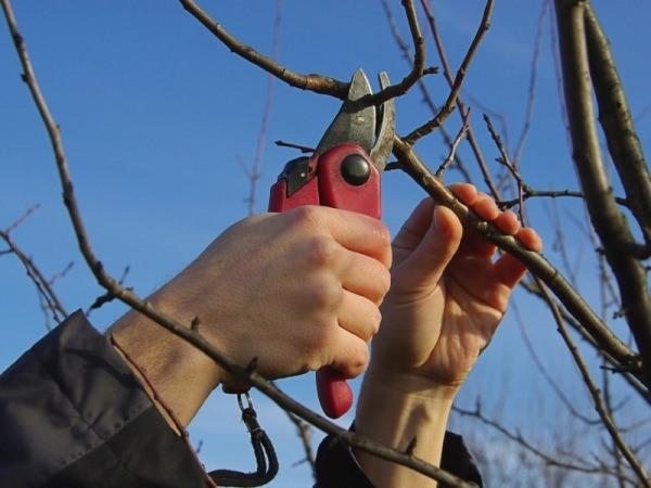 Осенняя обрезка заключается в удалении плохих ветвей