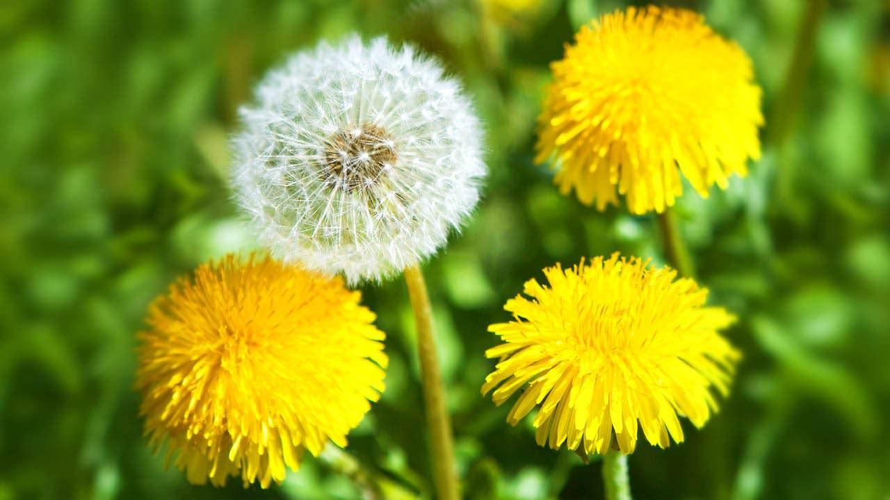 Лучшие месяцы для среза цветов одуванчика – время активного цветения в мае-июне